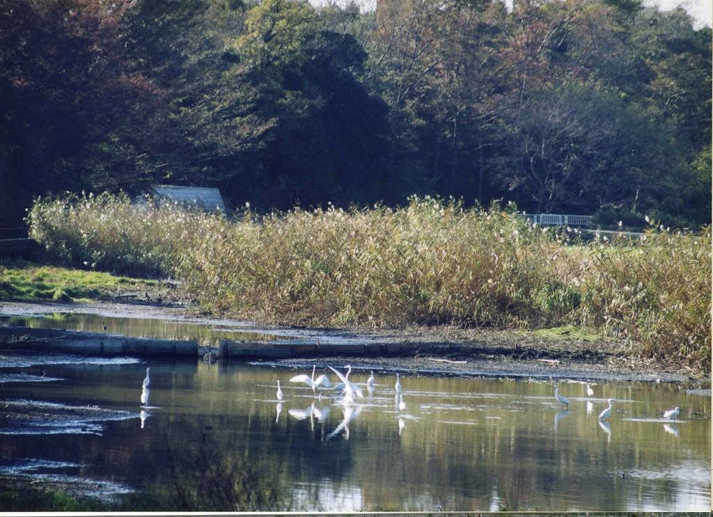 別府沼の白鷺
